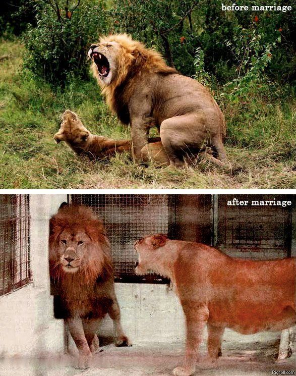 Lion before marriage, lion after marriage