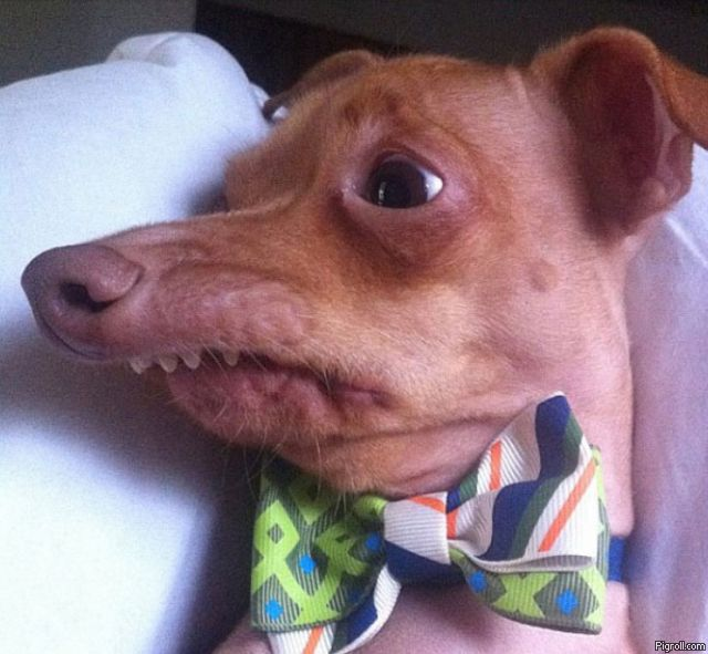 Retarded dog wearing a bow-tie